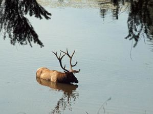 bull-elk-in-water.jpg