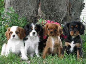 Cavalier-King-Charles-Spaniel-Puppies29.jpg