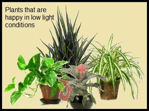 Low Light Flowering House Plants ten house plants tolerating low light conditions - earthdragon's