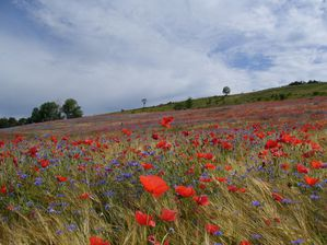 coquelicots chorale 2