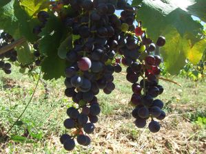 petit Verdot Septembre 2010