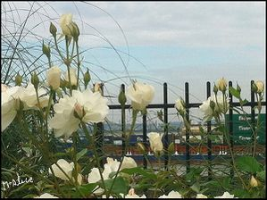 Coucou-Roses-blanches-21-09-2012.jpg
