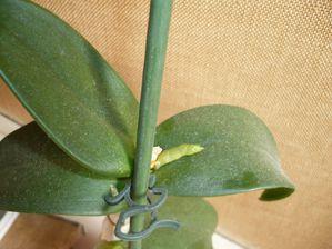 orchidée Dendrobium une nouvelle pousse