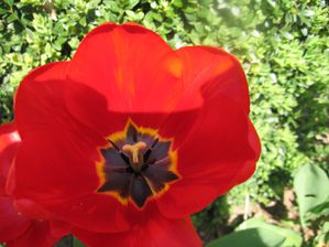tulipes 035