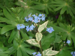 Brunnera-macrophylla--Hadspen-Cream-.JPG