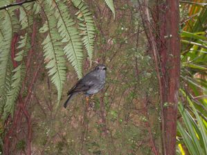 New Zealand-Waitakere-13 février 2010-Robin