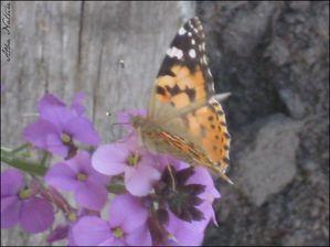 papillon_3.jpg