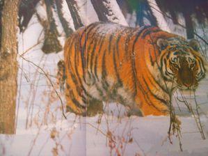 tigre (13)