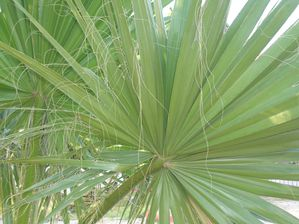 Washingtonia-Pritchardia-filifera-Kusadasi.JPG