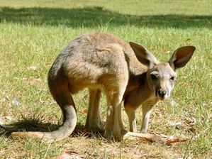 http://www.publicdomainpictures.net/view-image.php?image=40308&picture=grey-kangaroo-joey