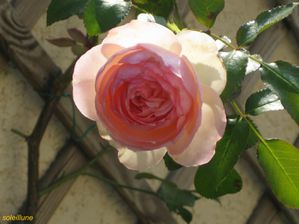 rose-pierre-de-ronsard-6--R-solution-de-l--cran-.jpg