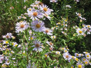 asters-bleus-lavande--R-solution-de-l--cran-.jpg