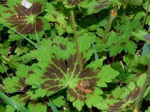 geranium phaeum vivace DSC 0723