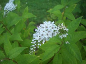 LYSIMAQUE CLETHROIDES (1)