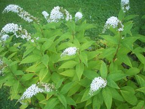 LYSIMAQUE CLETHROIDES (2)