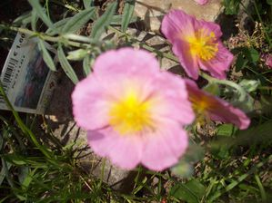 HELIANTHEMUM (2)