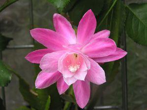 Epiphilium-rose-09.JPG