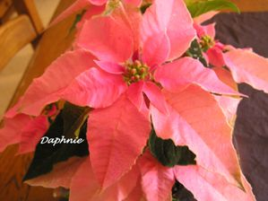 Poinsettia-copie-1.JPG