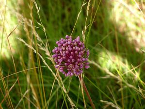 allium-sauvage.JPG