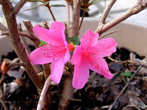 azalea-japonica--Mad.Albert-van-Heche-.JPG