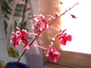 Oncidium equitante-copie-1