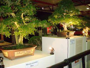 Bonsaï Murraya paniculata 75 ans et Acer palmatum 45 ans