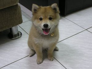 puppy-shiba-inu-long-haired