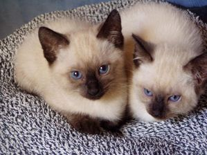 51885701-chatons-siamois-thais-seal-point.jpg