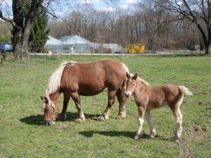 chevaux-de-traits-comtois-a-vendre.jpg