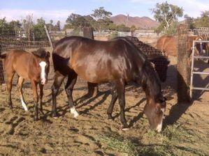 foal_bay_quarter_horse.jpg