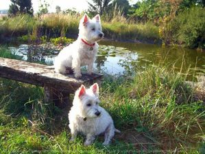 539781-animaux-chiens-west_highland_white_terrier.jpg
