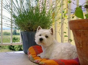 6674du-domaine-des-lys-west-highland-white-terrier-1.jpg