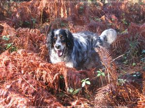 392178-animaux-chiens-setter_anglais.jpg