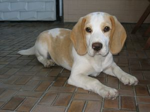 Beagle_tan-white.jpg
