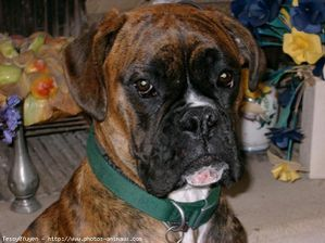 66023-animaux-chiens-boxer.jpg