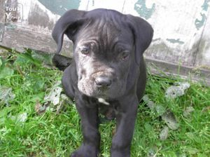 photo2-cane-corso-a-vendre-exexex8w492655.jpg