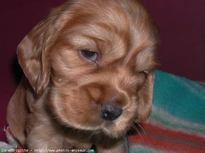 48244-animaux-chiens-cocker_anglais.jpg