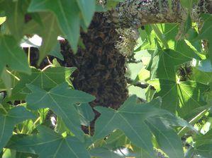 Récuperation essaim d'abeilles suite à essaimage-copie-2