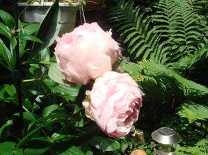 jardin-pivoines-2.jpg