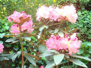jardin rhodo fleurs hautes
