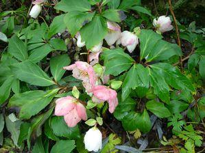 rose noel2