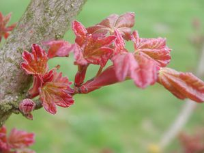 Acer-campestris-Red-Shine--2-.JPG