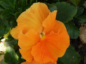 pensees-1--orange-P3282455.jpg