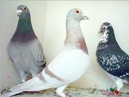 pigeons en garde à vue