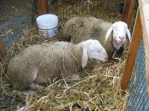 Animali-da-fattoria 6415