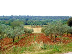 HR201206.006.premiers oliviers