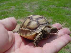 37093056geochelone-sulcata-hatchling-and-adult-1a-jpg