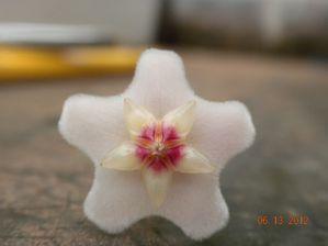 fioriture giugno 2012 015