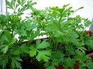 flat-leaf-parsley.png