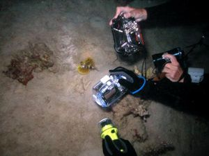 Dendrochirus-brachypterus-Poisson-scorpion-nain-jaune-04